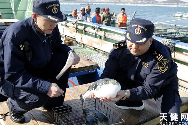 """48吨""""河豚王者""""在港湾海关出口日本"""